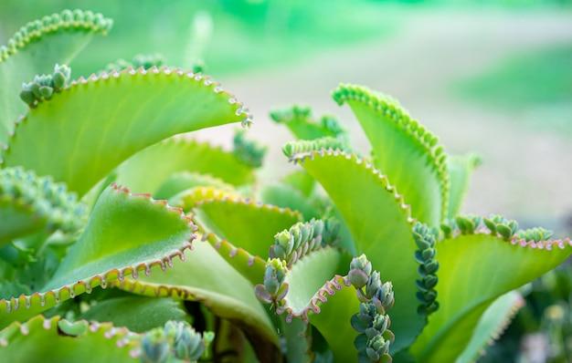 Close up of kalanchoe pinnata plant