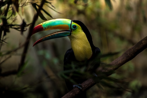 Close up of a keel-billed toucan (ramphastos sulfuratus)