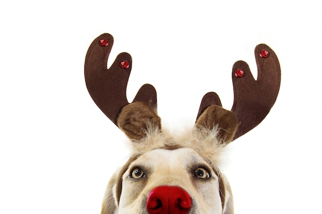 Close-up labrador dog christmas reindeer antlers costume. isolated Premium Photo