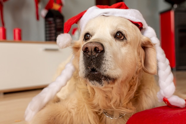 Close-up labrador at home wearing santa hat