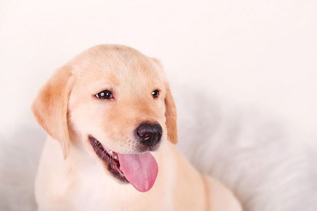 Close-up of labrador retriever puppy isolated