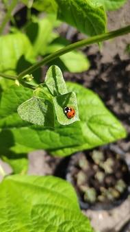 緑の葉でてんとう虫をクローズアップ