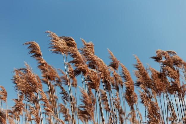 青い空の壁に乾いた葦のクローズアップ風景。