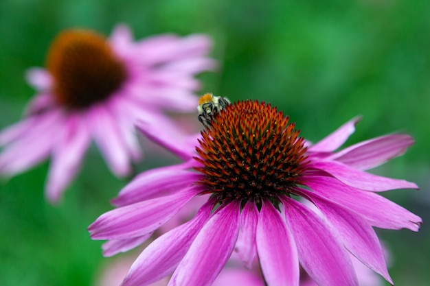 Close-up of a large black bumblebee drinking nectar and sitting on a beautiful large echinacea purpurea flower
