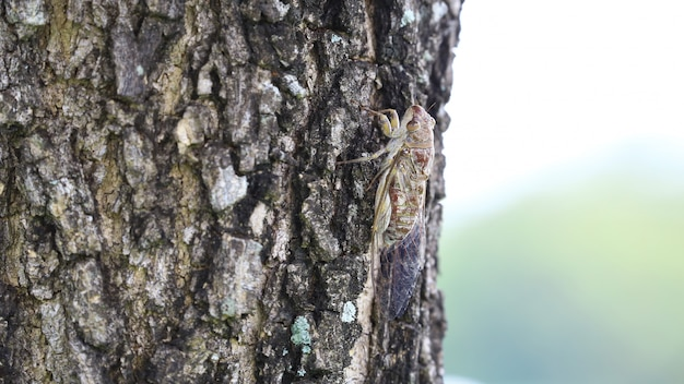 Close up the large brown cicada insect at the big trees with copy space background.