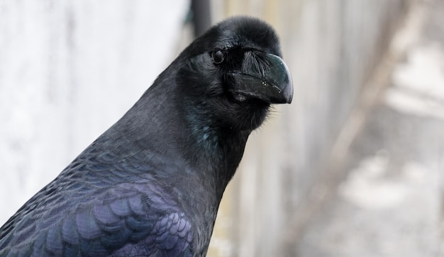 Close up of a large wild jungle crow, corvus macrohynchos.
