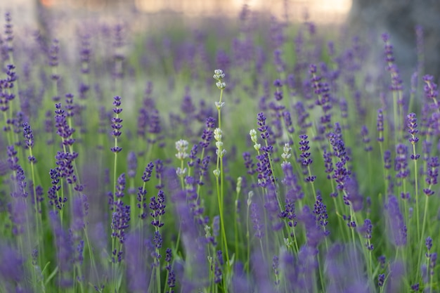 Close up of lavender field branches of flowering lavender can be used as background