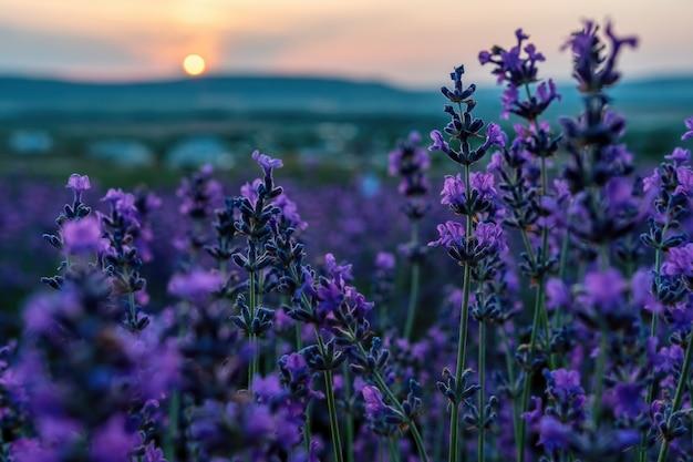 Закройте вверх по цветку лаванды на закате. кусты лавандовых пурпурных ароматных цветов на лавандовых полях французского прованса недалеко от валенсоля.