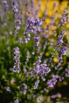 Close-up lavender sprigs