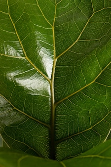Close up of leaf of tropical fiddle leaf fig ficus lyrata houseplant isolated on white background ma...