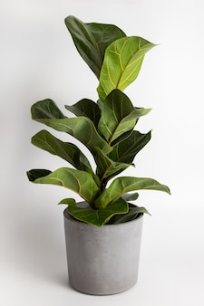 Close up of leaf of tropical fiddle leaf fig ficus lyrata houseplant isolated on white background po...