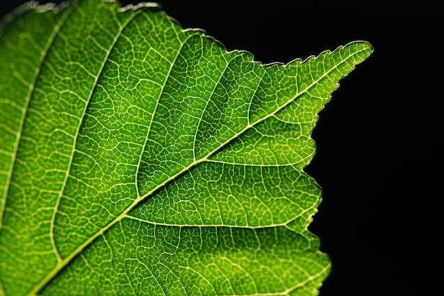 Close up of leaf with black background