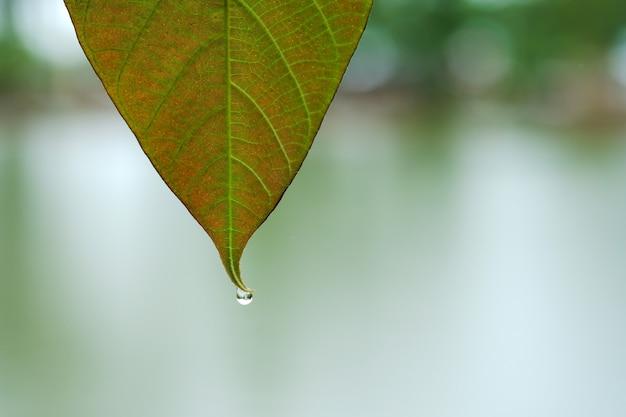 葉に雨滴が付いているクローズアップの葉。スペースをコピーします。