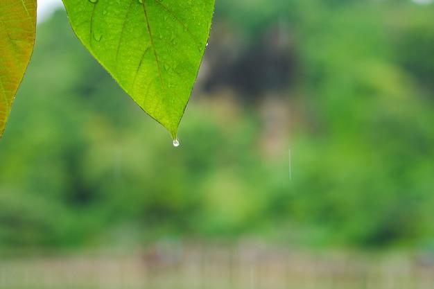 自然の背景がぼやけている葉に雨滴のクローズアップの葉。