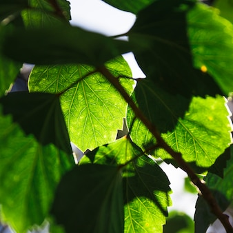 Close-up leaves of aspen