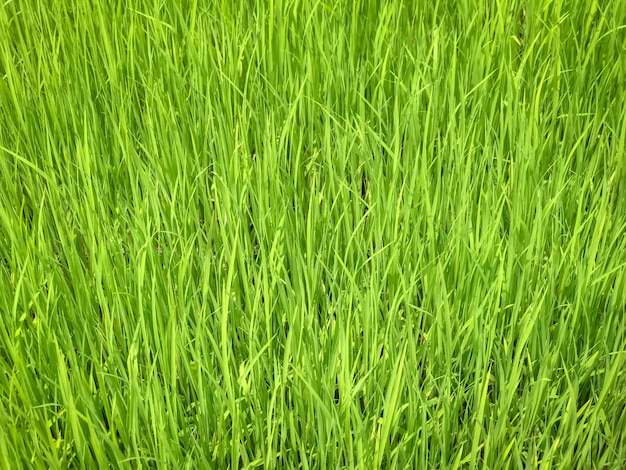 Close up of leaves of green rice seedlings in rice paddies