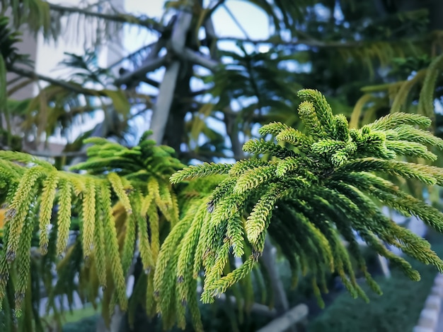 Close-up leaves of norfolk island pine