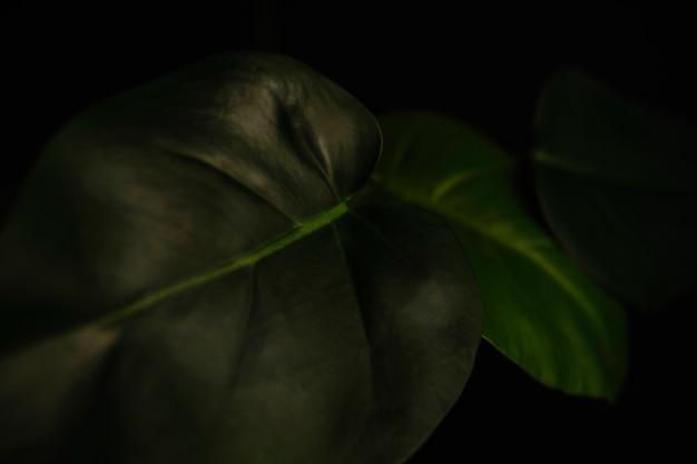 Alocasia의 근접 잎
