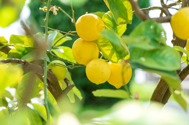 Close up lemons hanging from a tree in a lemon grove