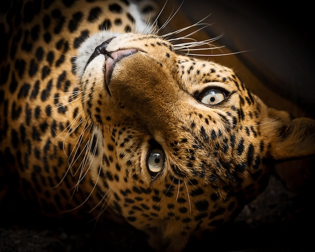 Close up leopard