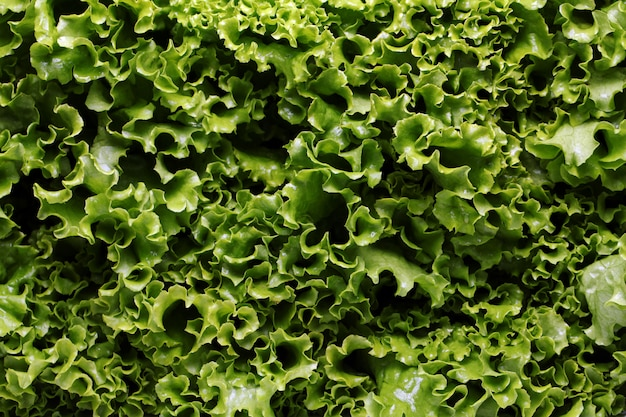 Close up of lettuce leaves