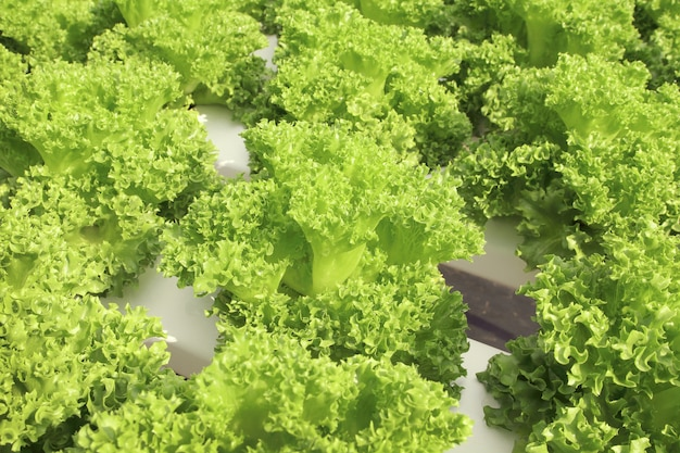 Close up lettuce plants growing in the garden, fresh green hydroponic vegetable.