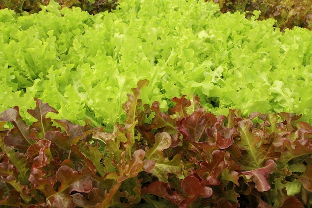 Close up lettuce plants growing in the garden, fresh red and green hydroponic vegetable.