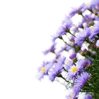 ライラックデイジーの花をクローズアップ