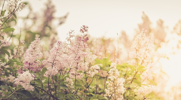 Закройте вверх по ветвям дерева сирени на запачканной предпосылке в sunlit парке outdoors. ретро тонированное изображение. мягкий фокус.