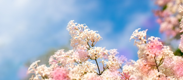 Close up lilac tree flowers on blue sky background. rainbow color spots. banner with copy space.