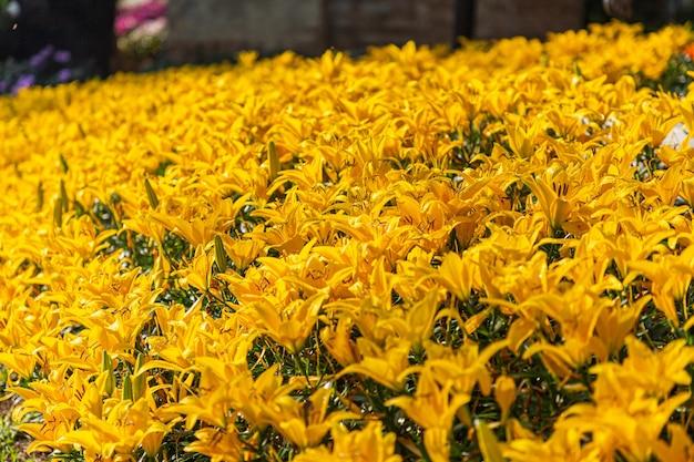 봄 날에 정원에서 피는 백합 꽃을 닫습니다