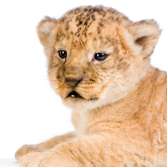 Close-up on a lion cub (3 weeks) isolated.