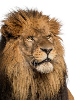Close-up of a lion, panthera leo, 10 years old, isolated on white