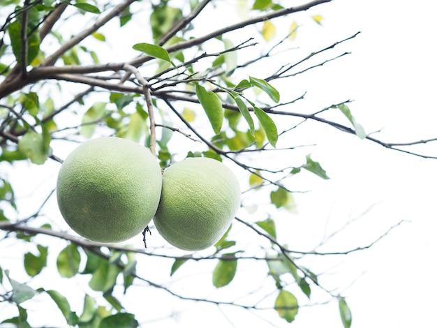 白い背景の上の木に熟したグリーングレープフルーツを閉じます。