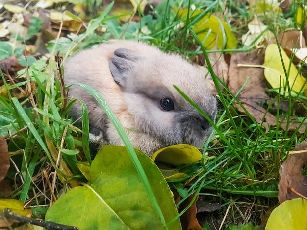 Закройте вверх. маленький серый кролик, сидя на траве. любимые домашние животные