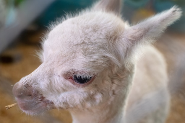 Close up little white baby lama face