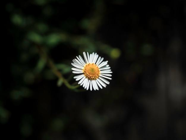 진한 녹색 잎에 근접 작은 흰색 데이지 꽃