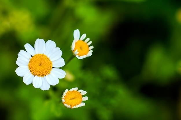 小さな白いデイジーの花を閉じる