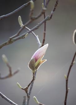 어둠에 외로운 핑크 목련 새싹을 닫습니다