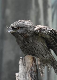 날개가 부분적으로 확장된 tawny frogmouth를 가까이서 보세요.