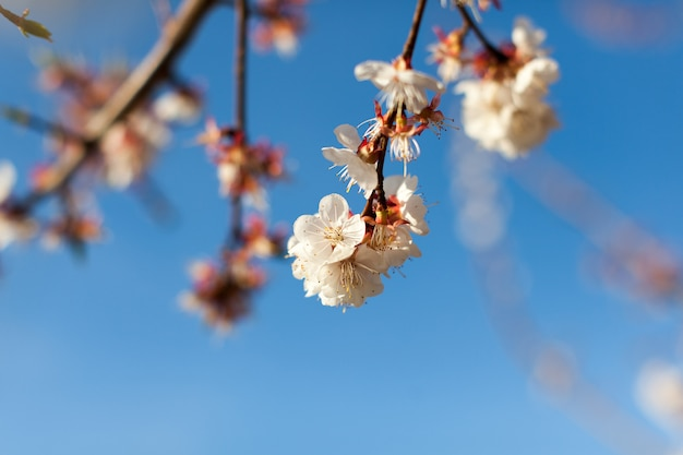 A close up look of branches of pink blossoms under pure blue sky