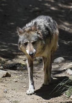 Закройте взгляд в лицо красивого деревянного волка.