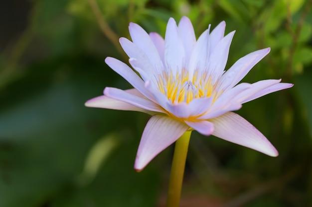 自然の中で蓮の花をクローズアップ