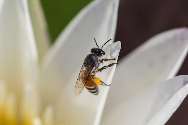 클로즈업 연꽃/백련과 연못의 꽃가루 연꽃에 꿀벌