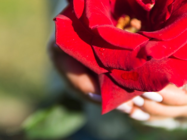 Close up of lovely red rose