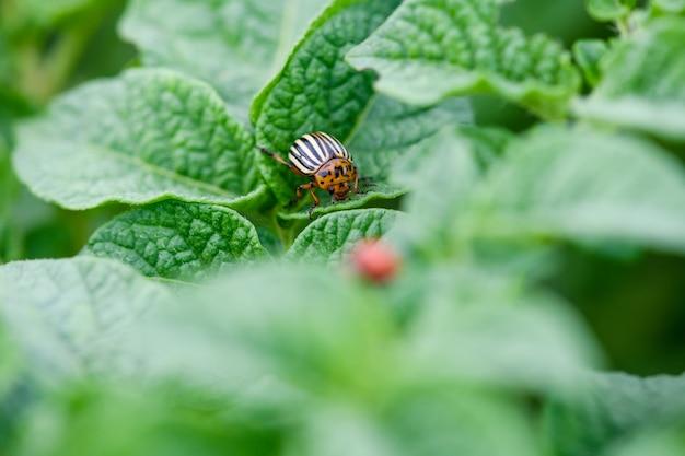 매크로 나쁜 콜로라도 딱정벌레 곤충이 잎을 먹고 피해를 입히고 농장 야채 수확, 자연 배경을 닫습니다