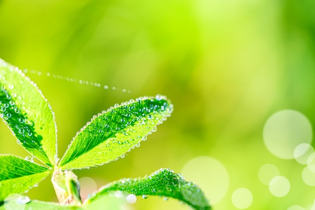 Close up macro image of dew or waterdrops on green leaves with spiderweb. summer forest artistic fantastic natural background during sunrise.