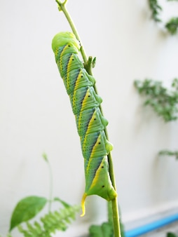 Макро крупным планом гусеницы с зеленым червяком, пожирающим лист