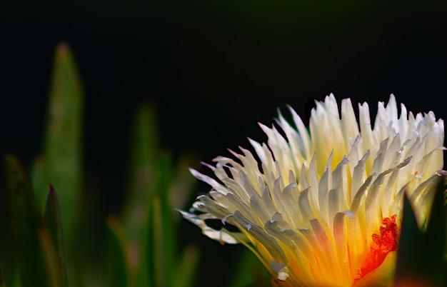 Close up  or macro photo of white gazania flower on black background