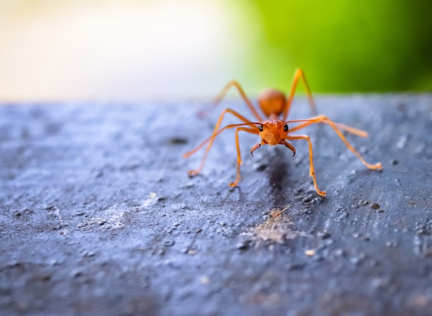 Close up macro of red ant on the wood